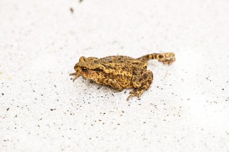 anuran: Hoptoad on tile in garden during summertime.