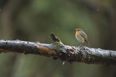 erithacus rubecula: European Robin (Erithacus rubecula) perched on a branch in the rain.