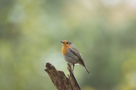 erithacus rubecula: European robin (Erithacus rubecula) perched on a branch in forest. Stock Photo