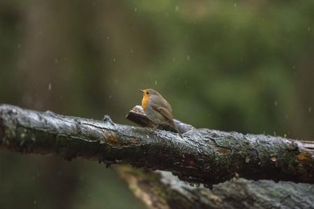 erithacus rubecula: European Robin (Erithacus rubecula) standing on a wet branch.