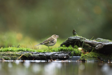 Female common chaffinch (Fringilla coelebs) eating on mossy forest ground