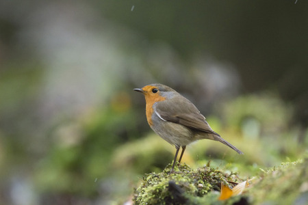 concern: European robin perched on mossy forest ground in the rain.