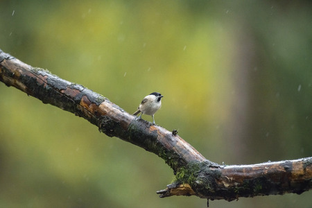 poecile palustris: Marsh tit (Parus palustris) perching on wet branch in the rain.
