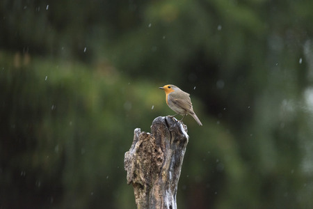 erithacus rubecula: European Robin (Erithacus rubecula) perching on tree trunk in the rain.