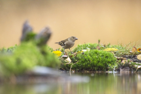 Female chaffinch perching on moss near pond. Stock Photo