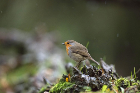 erithacus rubecula: European robin perching on tree stump in rain.