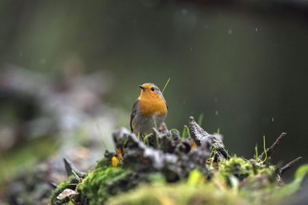 erithacus rubecula: European robin sitting on tree stump in rain.