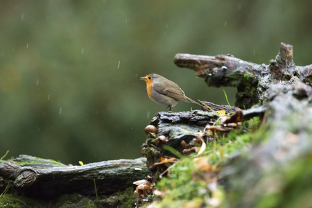 erithacus rubecula: European robin (Erithacus rubecula) perching on wet dead tree stump in the rain.