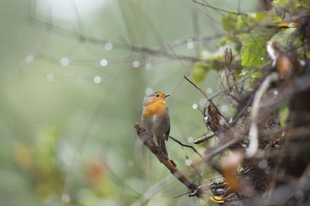 erithacus rubecula: European robin (Erithacus rubecula) perched on twig with raindrops in the rain Stock Photo