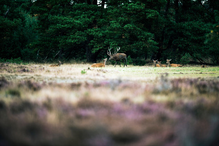 rutting: Red deer stag smelling nose of doe in rutting season. National Park Hoge Veluwe. Stock Photo