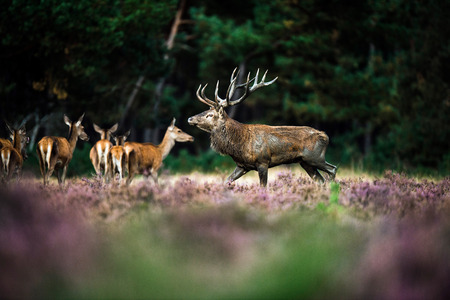 rutting: Red deer stag walking in heath field during rutting season. National Park Hoge Veluwe.