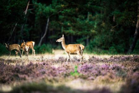 Alert red deer doe standing in heath. National Park Hoge Veluwe.