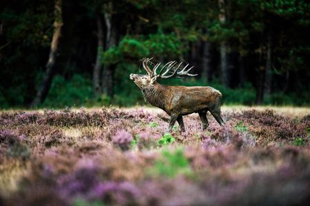 cervus: Roaring red deer in rutting season. National Park Hoge Veluwe.