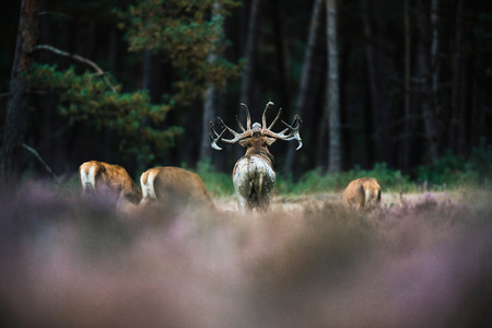 cervus: Rear view of roaring red deer stag surrounded by grazing hinds. National Park Hoge Veluwe. Stock Photo