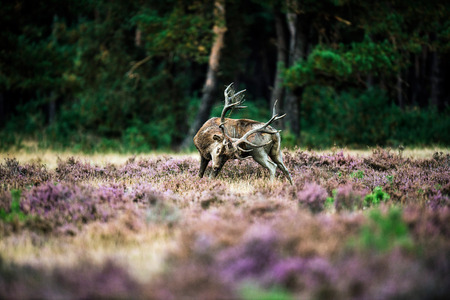 rutting: Red deer scratching with antlers in rutting season. National Park Hoge Veluwe.