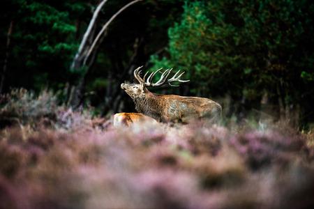rutting: Roaring red deer in mating season. National Park Hoge Veluwe. Stock Photo