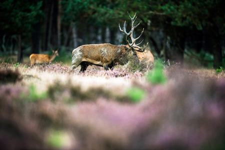 rutting: Red deer stag tossing with antlers in rutting season. National Park Hoge Veluwe. Stock Photo