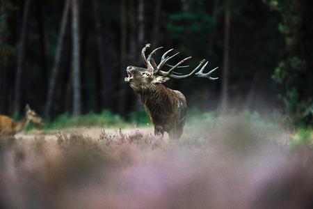 Roaring red deer stag with big antlers standing in heath. National Park Hoge Veluwe. Stock Photo