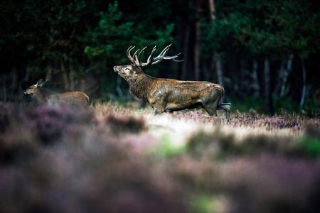 veluwe: Roaring red deer in mating season. National Park Hoge Veluwe. Stock Photo