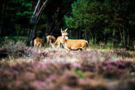 cervus: Alert red deer doe standing in heath field. National Park Hoge Veluwe.