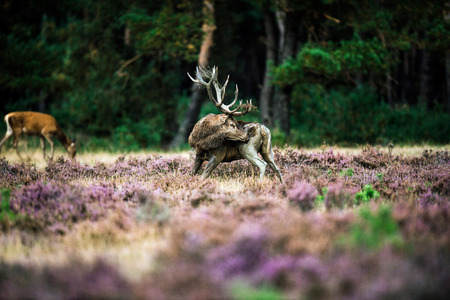 rutting: Red deer licks thigh with antlers in rutting season. National Park Hoge Veluwe.