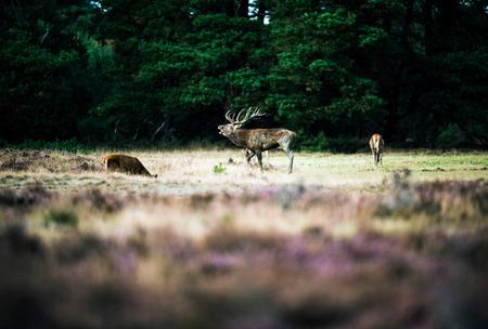 rutting: Roaring red deer standing between hinds in rutting season. National Park Hoge Veluwe.