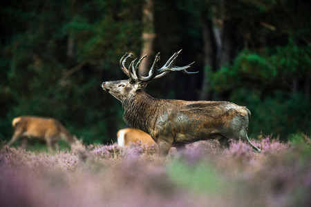 Red deer stag in mating season. National Park Hoge Veluwe. Stock Photo