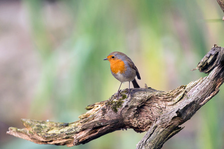 erithacus rubecula: European robin perching on piece of dead wood. Stock Photo