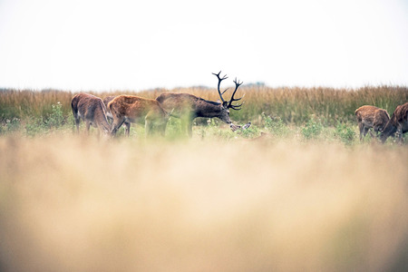 rutting: Red deer stag smelling a hind lying in field during rutting season. National park Hoge Veluwe. The Netherlands. Stock Photo