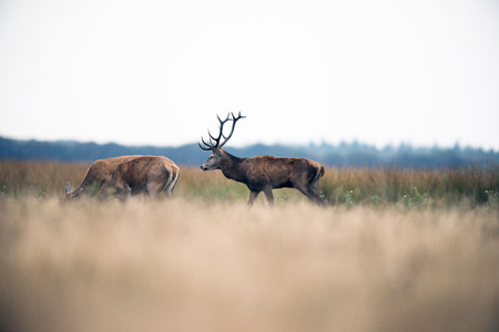rutting: Red deer stag walking in field between hinds during rutting season. National park Hoge Veluwe. The Netherlands.