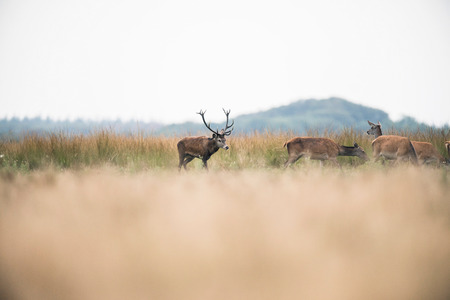 rutting: Red deer stag in rutting season chasing hinds. National park Hoge Veluwe. The Netherlands.