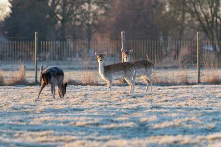 Two female fallow deer standing in frozen grass.
