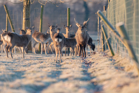 Fallow deer stag in herd standing in frosty meadow.