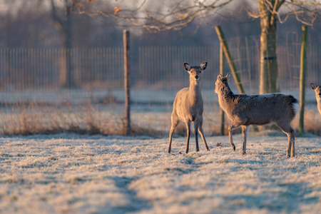 looking towards camera: Alert fallow deer standing on frozen grass looking towards camera.