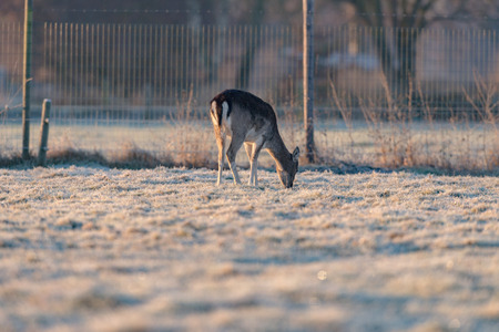 early morning: Grazing fallow deer on frozen grass on cold early morning. Stock Photo