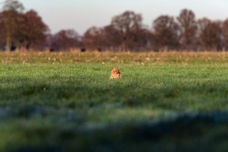 ginger cat: Ginger cat sitting in sunlight in high grass of farmland.