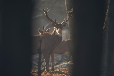 veluwe: Red deer stag in misty forest with condense of breathing.