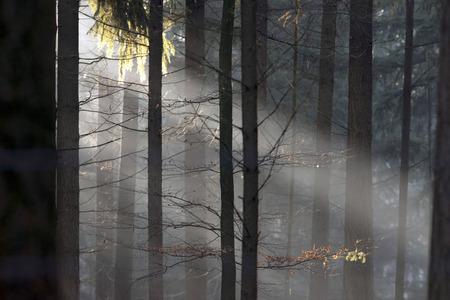 veluwe: Sunbeams in misty pine forest.