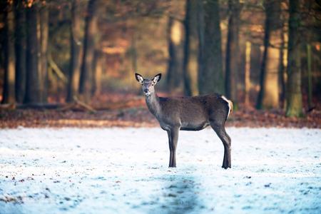 Female red deer standing on frozen field near forest.