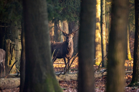 cervus: Forest with red deer stag standing between trees.