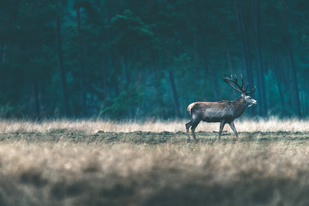 Red deer stag walking solitary in forest meadow. Stock Photo