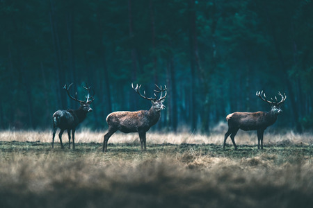 Group of red deer stag standing in forest meadow.