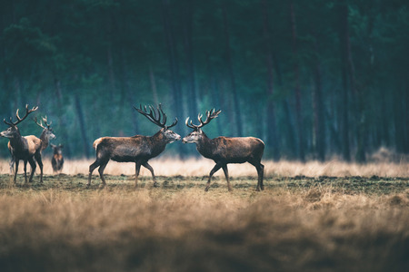 Group of red deer in forest meadow during winter.
