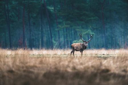 herbivore: Red deer stag standing in open field of forest.