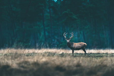 cervus: Red deer stag standing solitary in forest meadow.