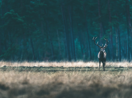 Red deer stag standing solitary in forest meadow.