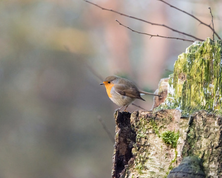 erithacus rubecula: Robin bird perched on tree trunk.