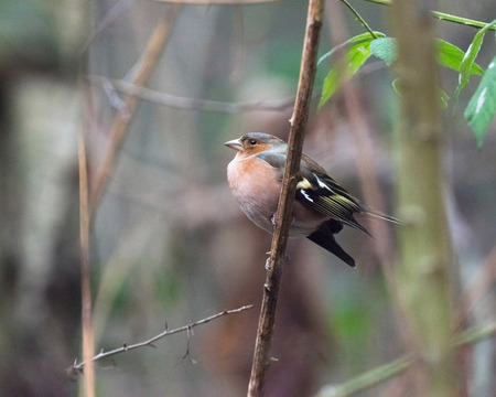 Common chaffinch perched on twig in bushes.