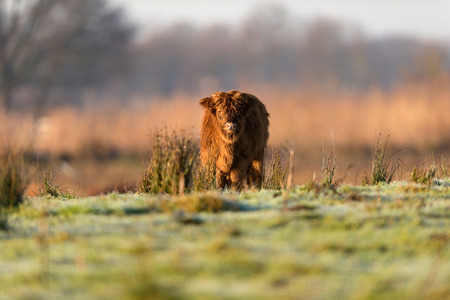 Cute highland calf standing in meadow.