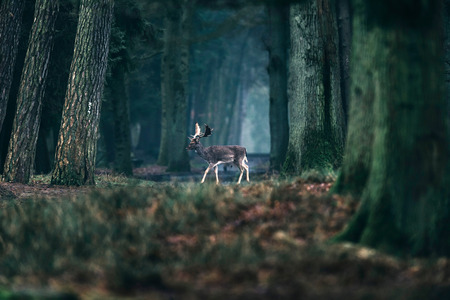 ruminate: Fallow deer crossing path in misty forest. Stock Photo